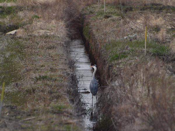 09-アオサギ.jpg