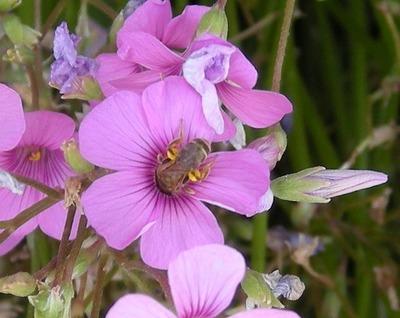 蜂花.jpg