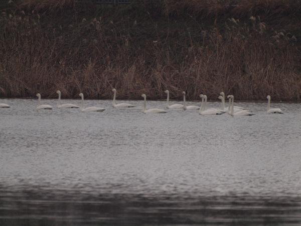 コハクチョウの湖.jpg